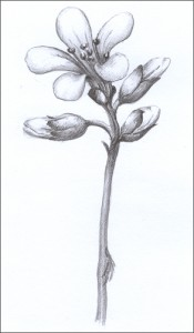 Saxifraga-granulata